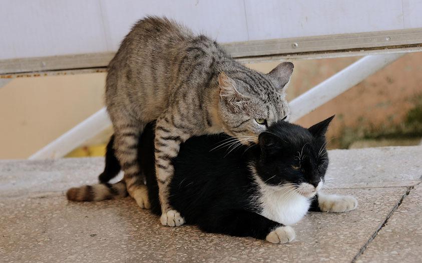 Вязка кошек что нужно знать — рассмотрим детально