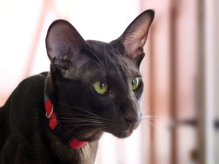 Порода кошек гавана браун: шоколадная кошка