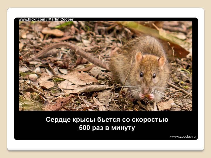 Опасные болезни крыс, передающиеся человеку