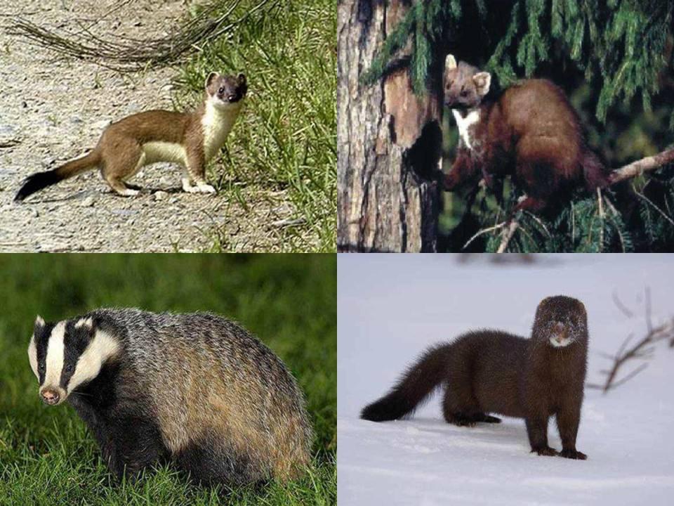 Ласка: описание животного, чем питается, среда обитания