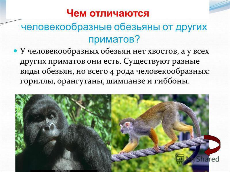 Обезьяны: описание, образ жизни, виды и место обитания   планета животных
