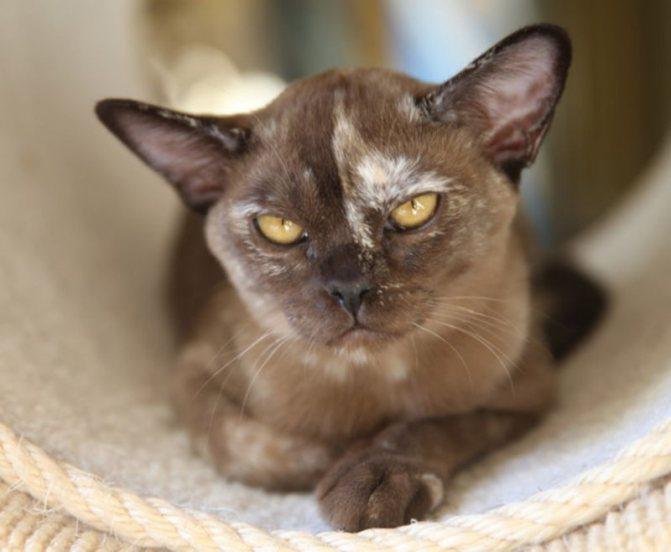 Бурманская кошка: фото, описание породы, характера и ухода
