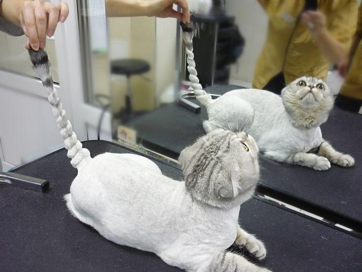 Шерсть британских кошек после стрижки