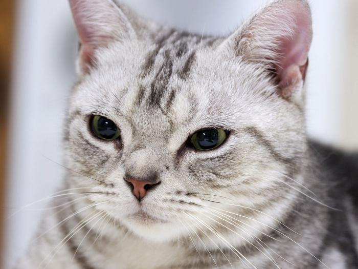 Американские кошки (42 фото): гладкошерстные, короткошерстные и другие породы котов. описание характера черных котят и кошек других окрасов