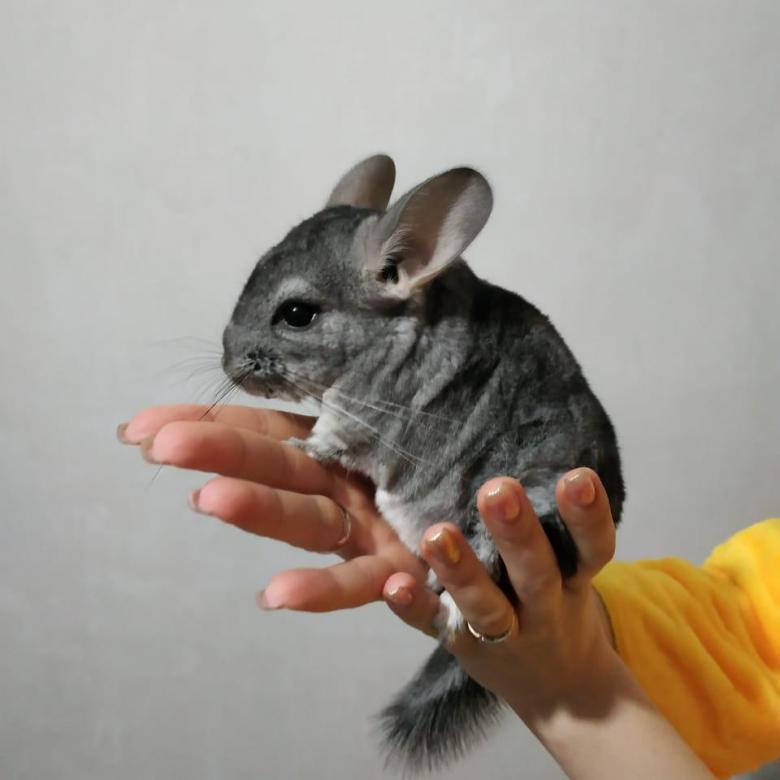 Сколько стоит крыса - описание пород и их стоимость, как выбрать грызуна, особенности покупки