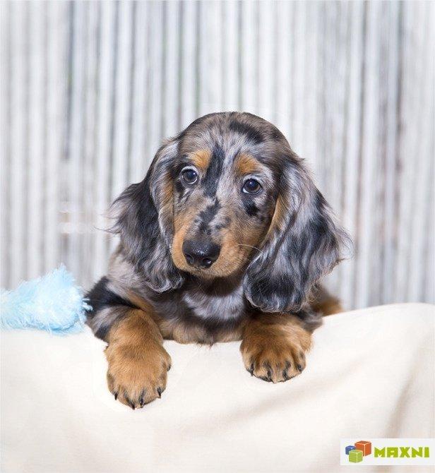 Такса мраморная порода собак