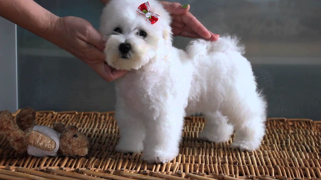 ᐉ породы собак которые не линяют - названия с фото - zoovet24.ru