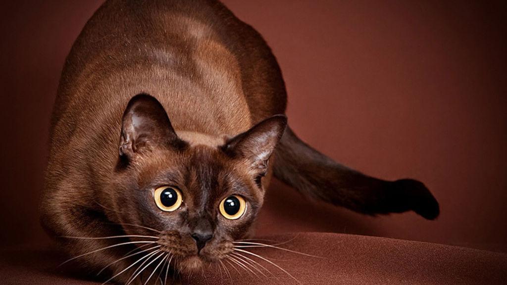 Характер бурманской кошки (31 фото): описание поведения породы. может ли кошка постоять за себя?
