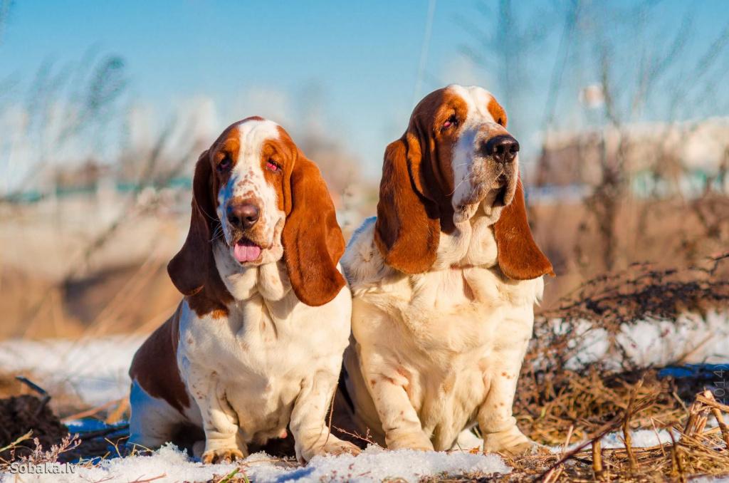 Бассет хаунд собака. описание, особенности, уход и цена бассет хаунда | sobakagav.ru