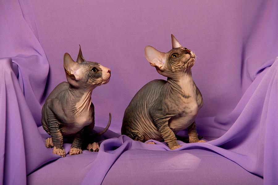Кохана: порода лысых кошек