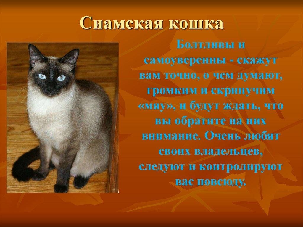 Сиамская кошка: описание породы и особенности содержания