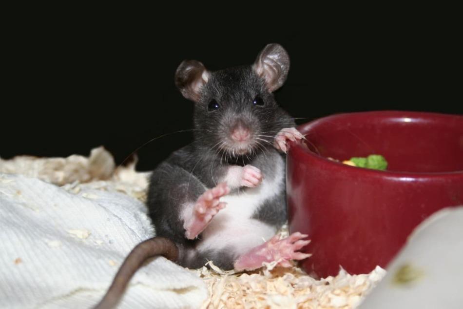 Домашние мыши: описание, уход и содержание, кормление декоративных грызунов