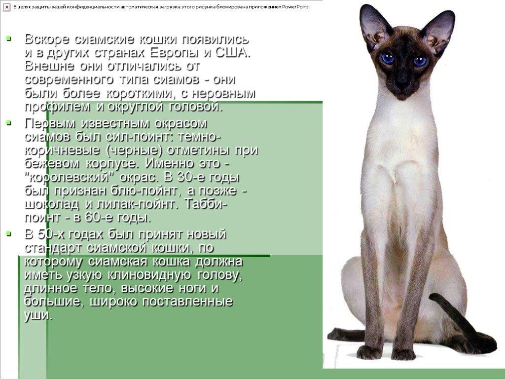Сиамская кошка фото, цена котят, характер породы, отзывы
