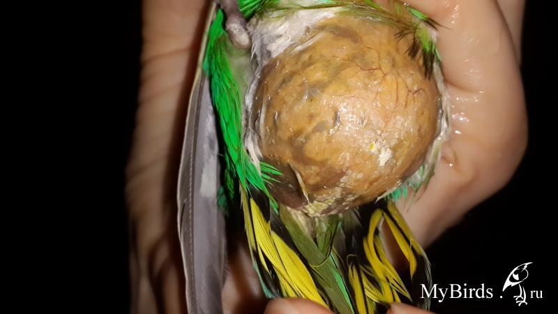 Липома, ксантома и гематома у попугая