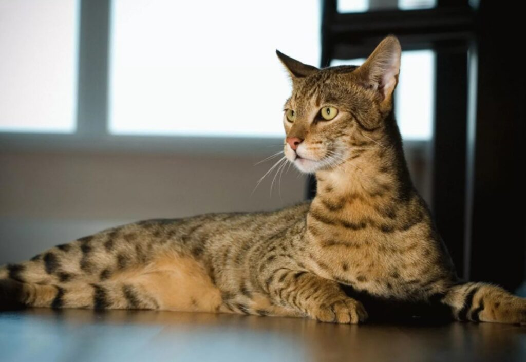 Кошка ашера: особенности и правила содержания