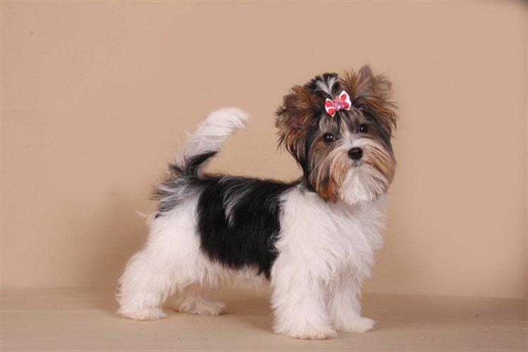 Бивер йорк собака. описание, особенности, цена и уход за породой бивер йорк   живность.ру