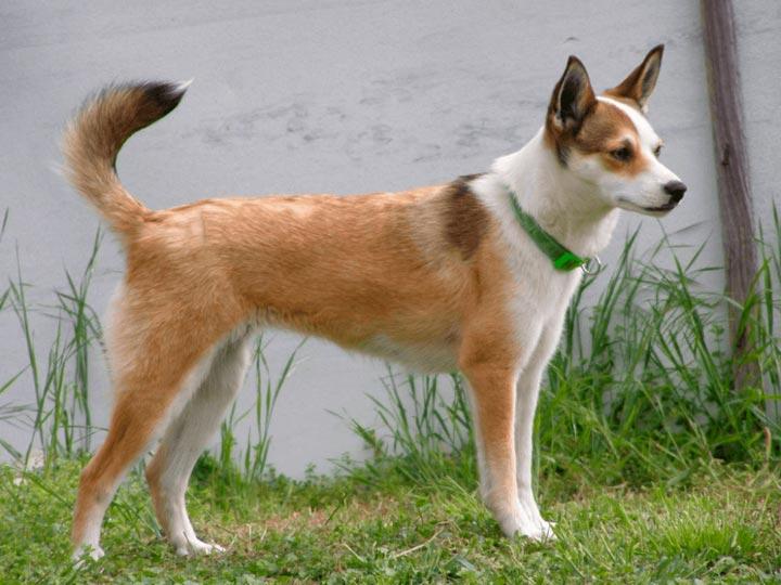 Норвежский лундехунд: характеристики породы собаки, фото, характер, правила ухода и содержания