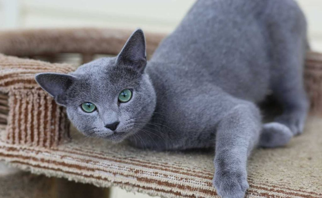 Русская голубая кошка: фото, описание породы, характер, здоровье, уход и содержание
