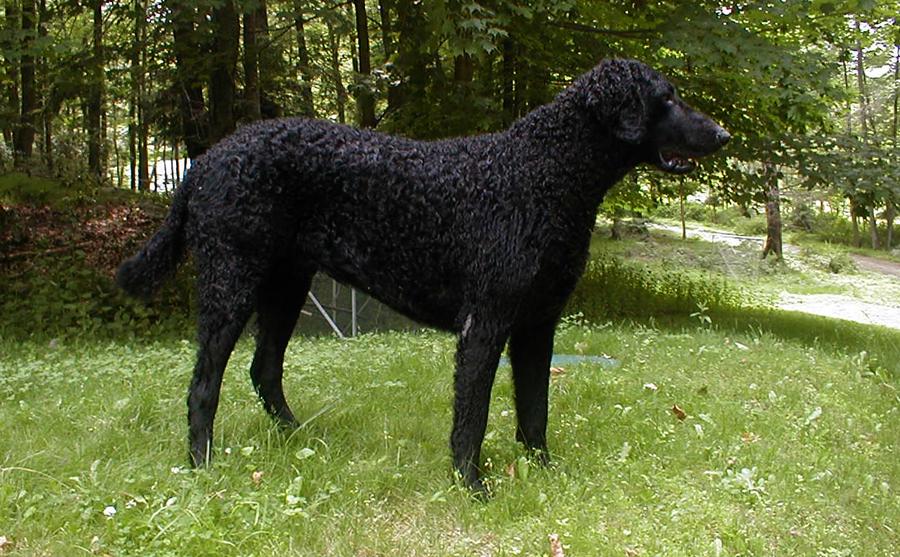 Курчавошерстный ретривер: характеристики породы собаки, фото, характер, правила ухода и содержания - petstory