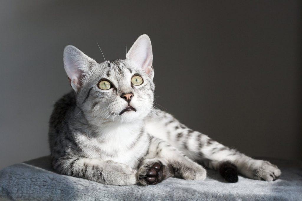 Какая порода кошек лучше детям, обзор, отзывы - мир кошек