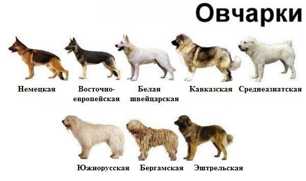 """Такие разные овчарки: виды и породы   блог ветклиники """"беланта"""""""