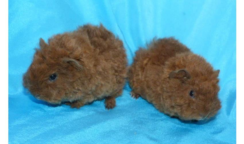 Голландская морская свинка / dutch cavy (holland guinea pig)