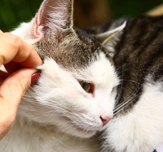 Гемобартенелез у кошек