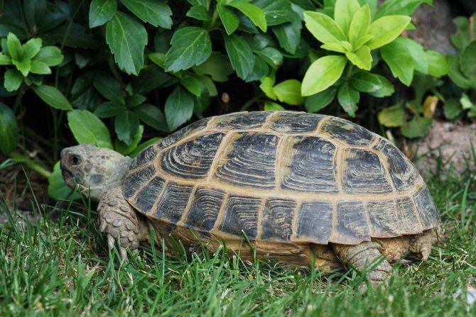 Черепаха: виды, особенности, где живут, что едят, размножение, интересные факты, 105 фото