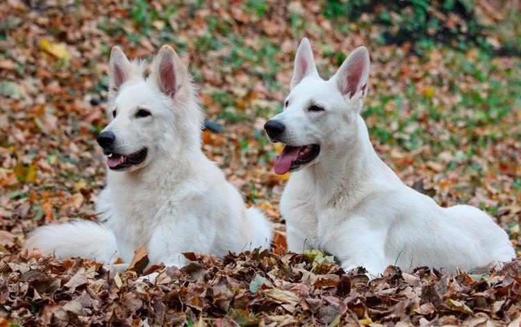 Белая швейцарская овчарка - 110 фото бшо и особенности воспитания собаки