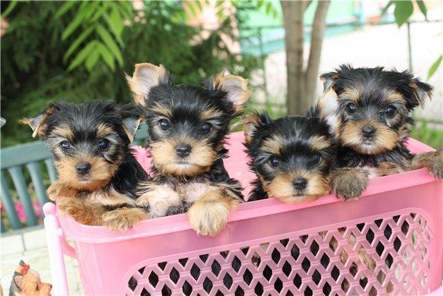 Чем кормить щенка и взрослого йоркширского терьера в домашних условиях: рацион питания собак