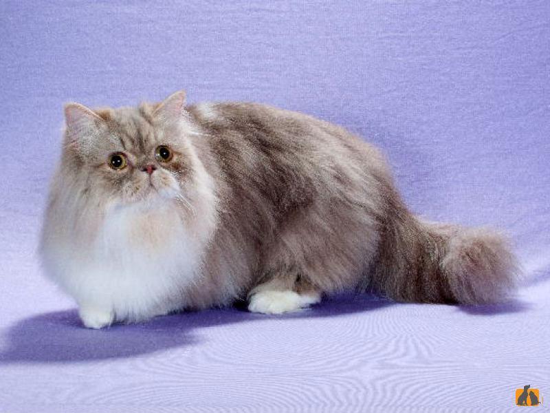 Наполеон или менуэт: описание породы кошки, характеристики, фото, правила ухода и содержания – petstory