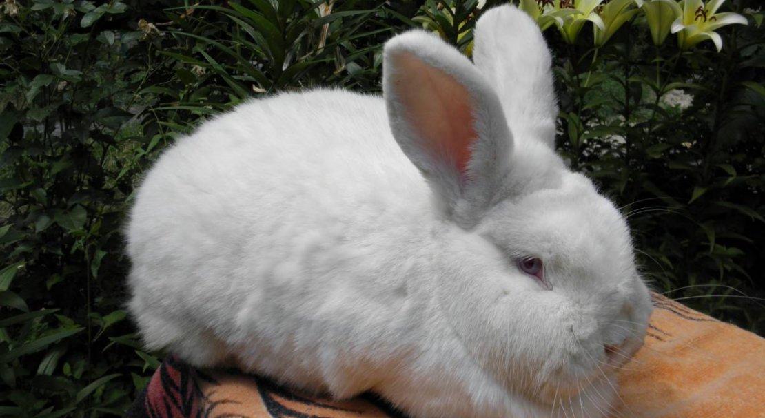 ᐉ новозеландский белые и красные кролики: история, внешний вид - zooon.ru