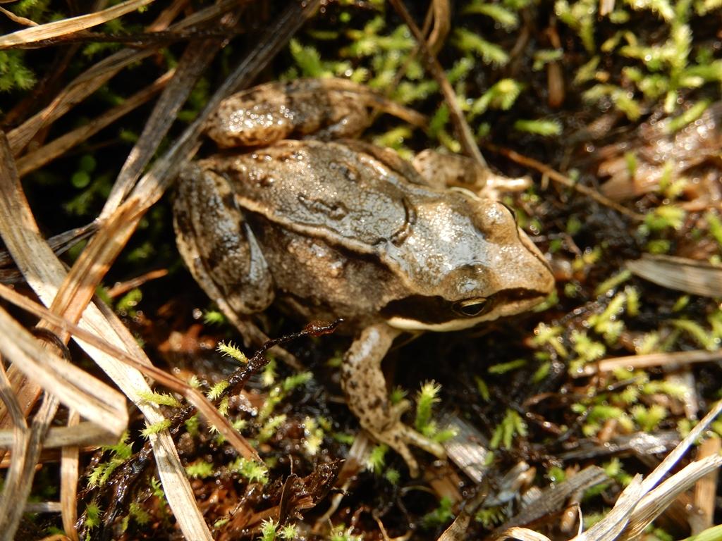 Остромордая лягушка (фото): как выглядит, где обитает, чем питается и интересные факты