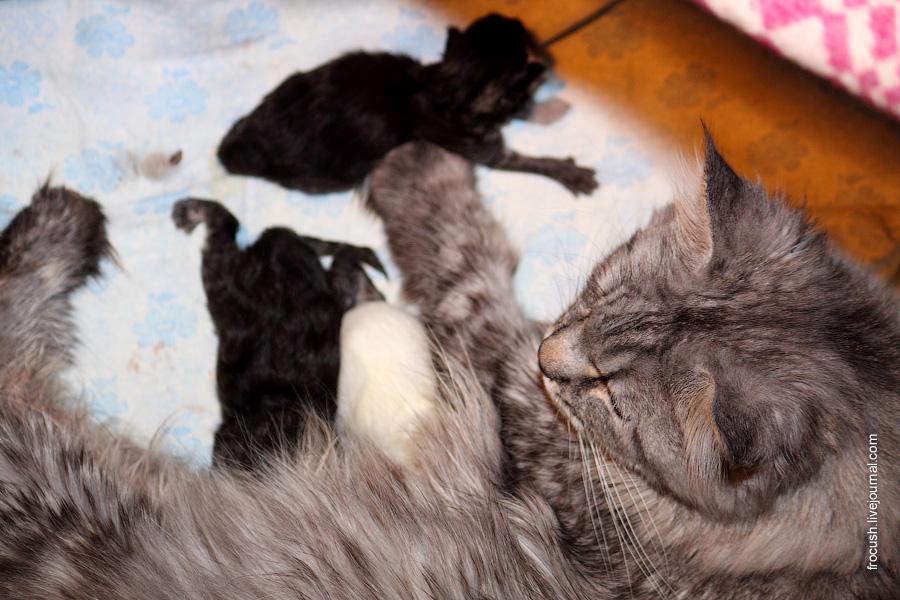 Когда у британских котят открываются глазки. когда котята открывают глаза после рождения