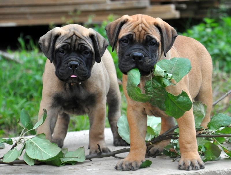 Бульмастиф: описание породы, особенности правильного ухода, характеристика собаки, ее вес и окрасы