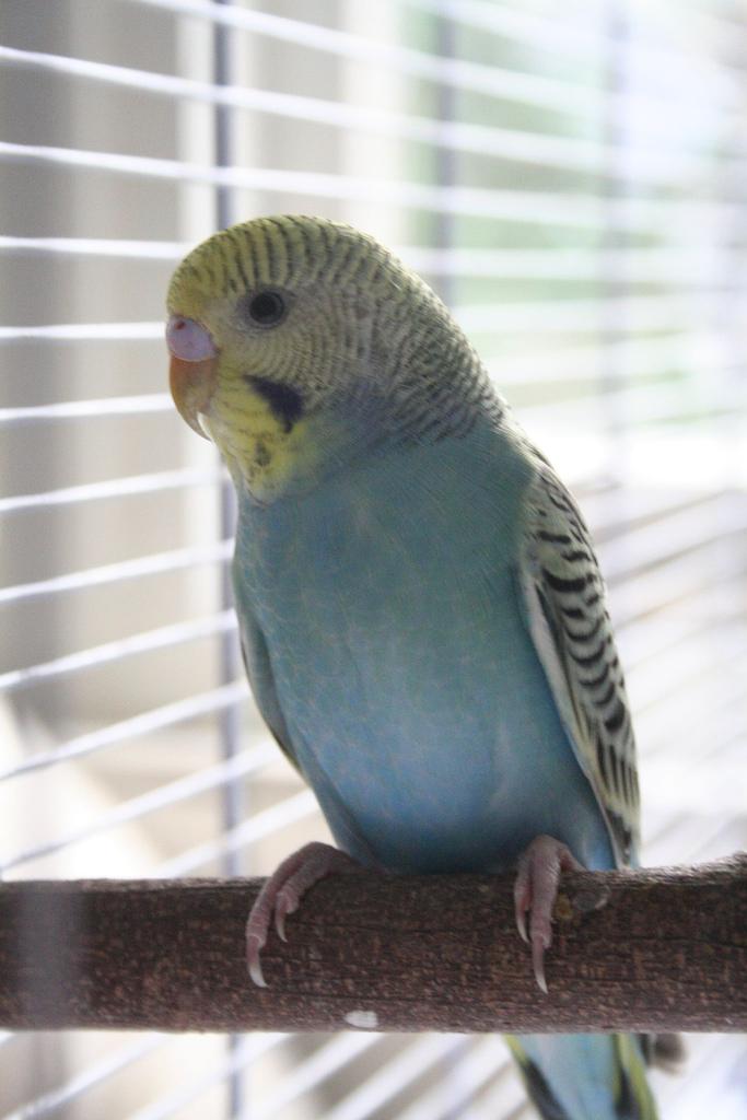 Как можно научить попугая разговаривать