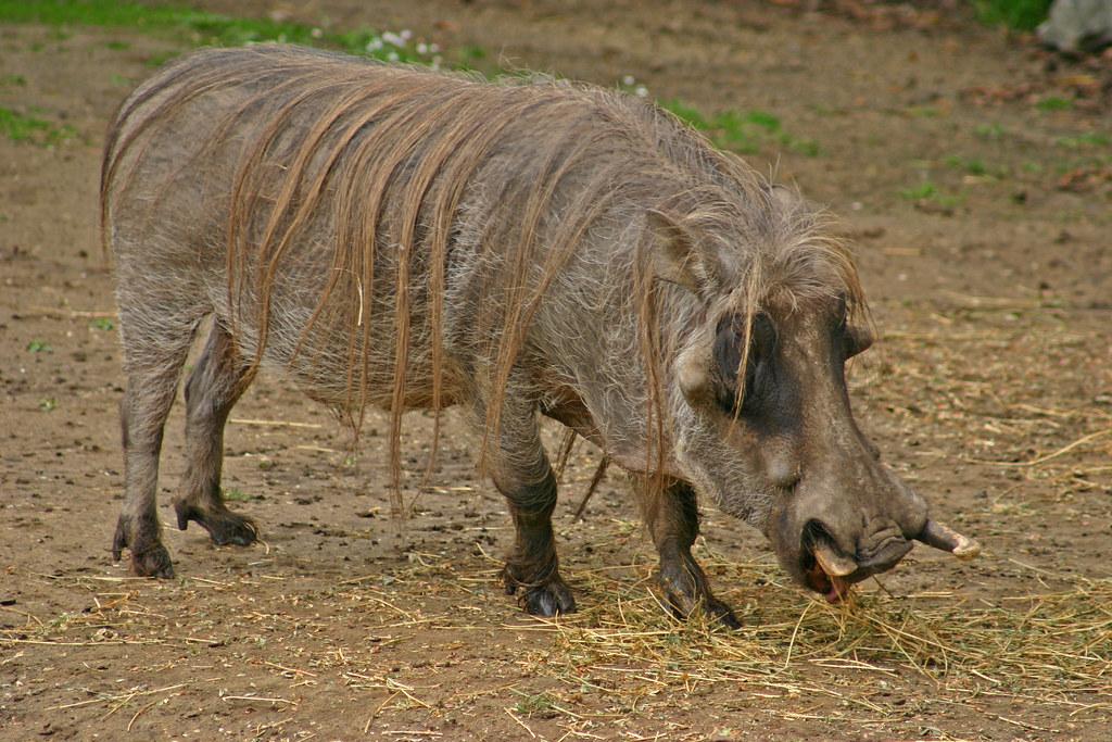 Порода свиньи «африканская кистеухая»: описание и особенности дикого животного