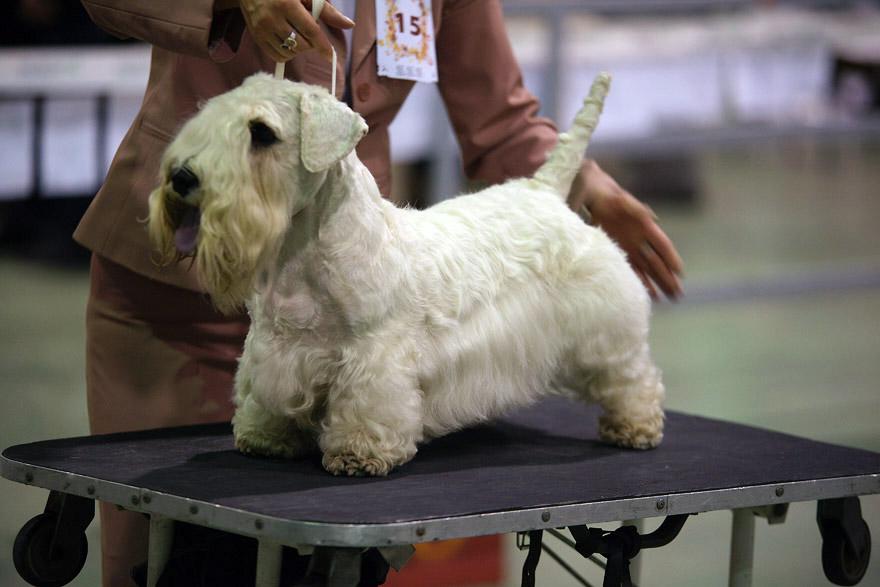 Собака кинозвезд: знакомство с породой силихем-терьер