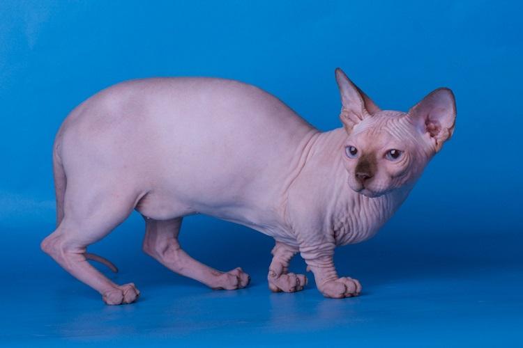 Бамбино – фото кошки, описание характера бамбино и характеристика породы