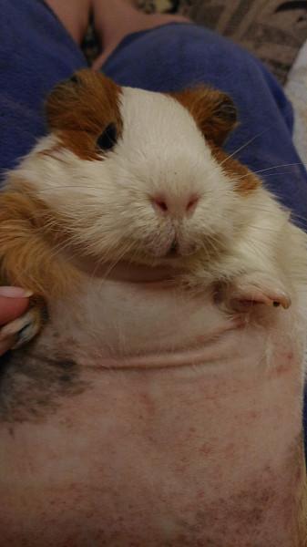 Реакция морских свинок на внешние раздражители. морские свинки