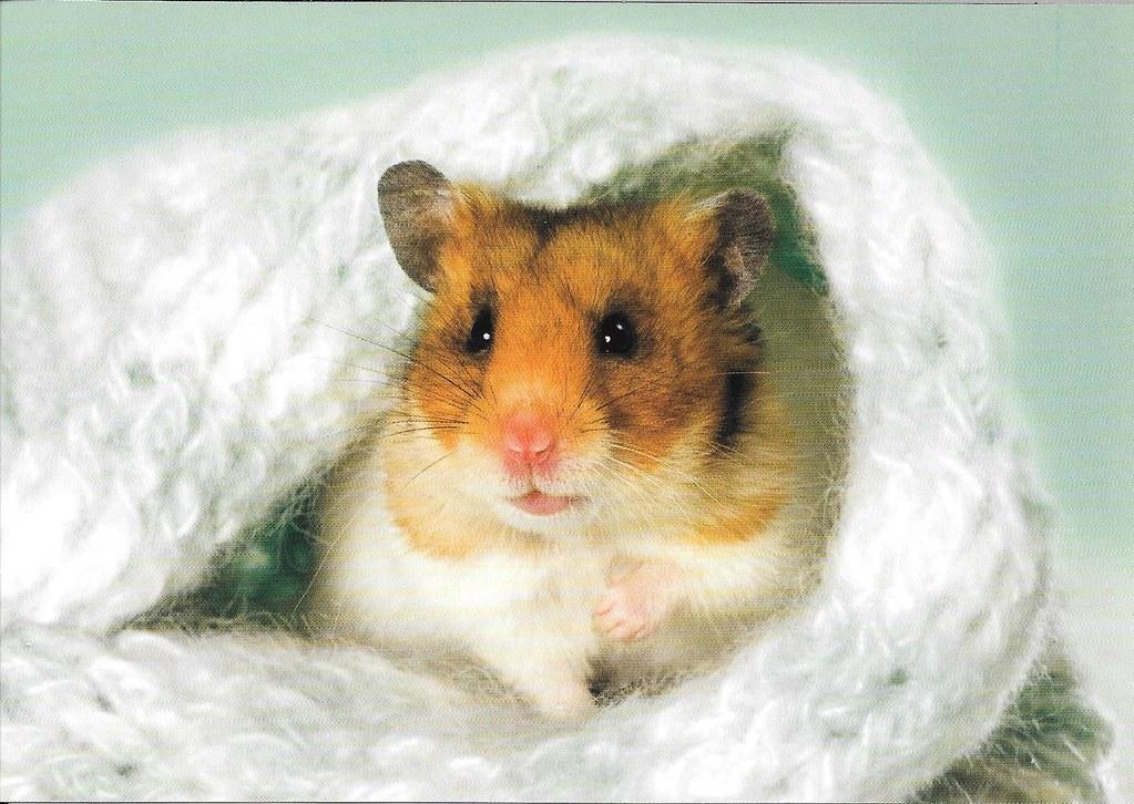 Сколько живут хомяки? какая средняя продолжительность жизни у хомячков в домашних условиях и в дикой природе?