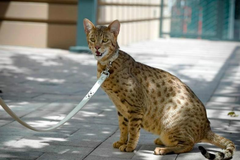Самые дорогие коты в мире: фото и цены