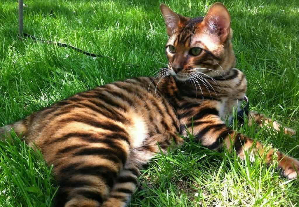 Тойгер: 150 фото породы, описание внешнего вида, характера кошки, цена, факты, уход