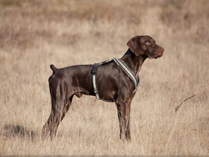Собака немецкий курцхаар: фото, описание и содержание породы