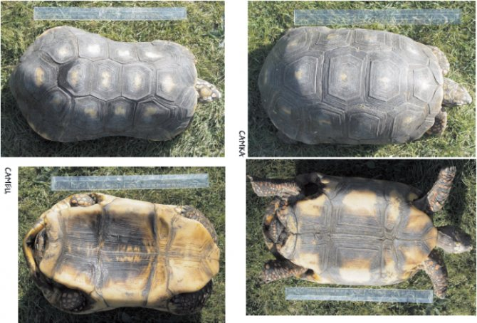 Как определить пол красноухой черепахи?
