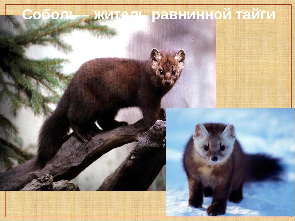 Образ жизни куницы и повадки животного - oozoo.ru