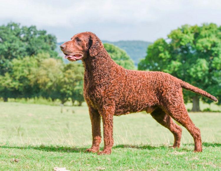 Курчавошёрстный ретривер (керли): описание и фото породы | все о собаках