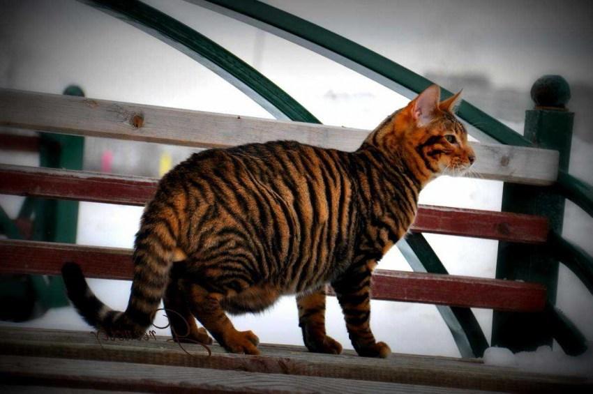 Порода кошек тойгер - характеристика и описание с фото и видео