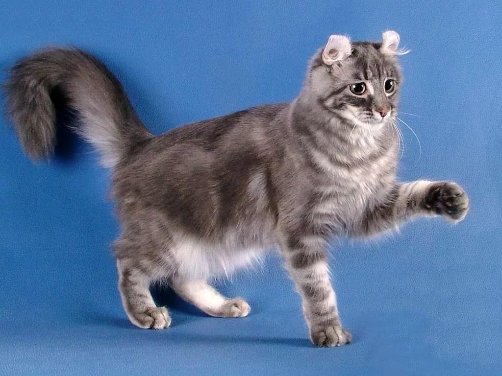 Американская короткошерстная кошка: фото, описание породы, характер, здоровье, уход и содержание