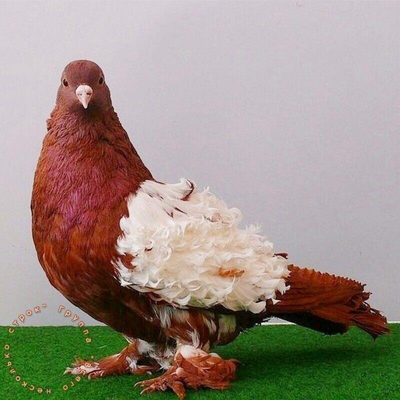 Топ-5 крупнейших голубей во всем мире: их происхождение, особенности, внешний вид